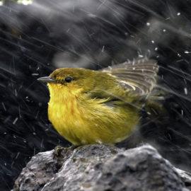 Oiseau sous la pluie